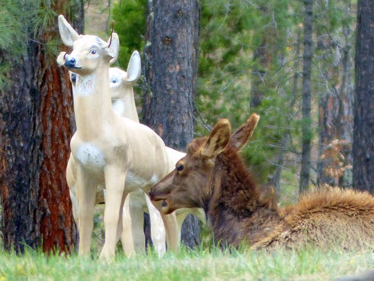 An elk cow seems to like lying down with some friends,