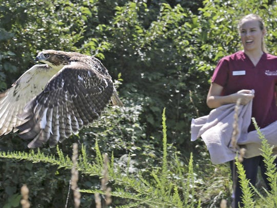 This is a young red-tailed hawk being released back into the wild after successful treatment for soft tissue wounds at Tri-State Bird Rescue & Research.