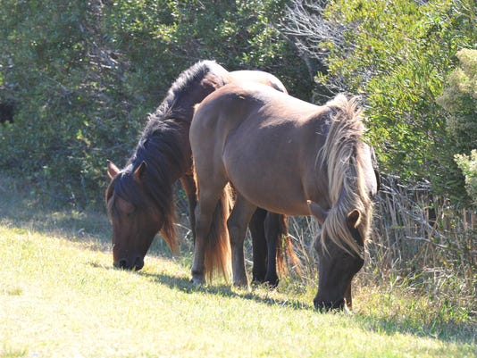 sby assateague ponies 2