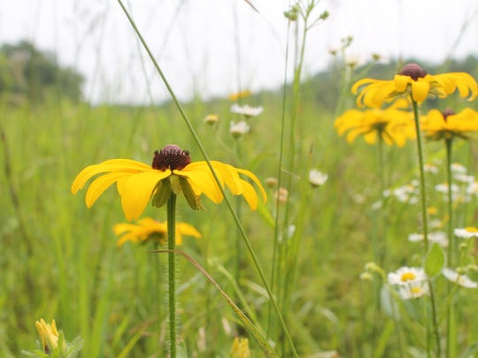 Fields of wildflowers provide cover for an orchestra of buzzing insects at Val-Kill.