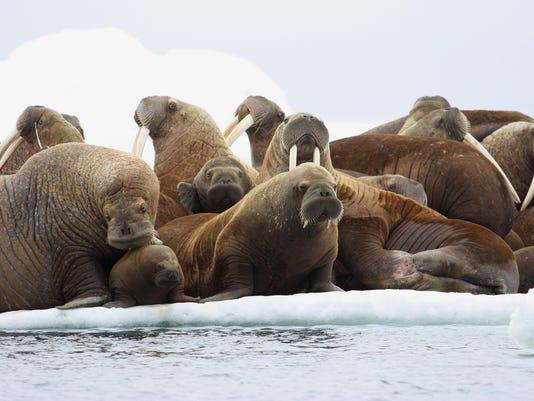 Walrus Rafts