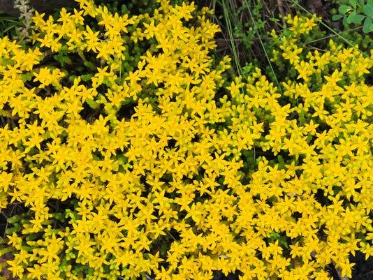 Goldmoss stonecrop (Sedum acre)