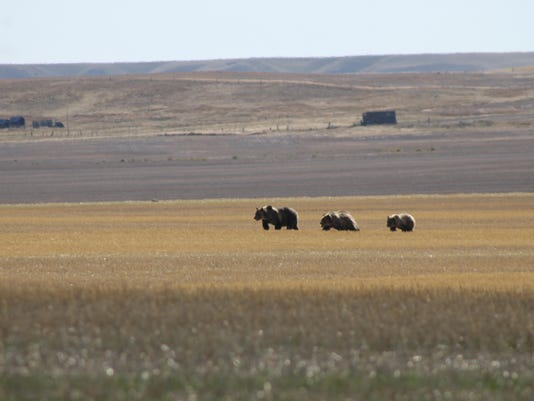 -bears near dutton.jpg_20160916.jpg