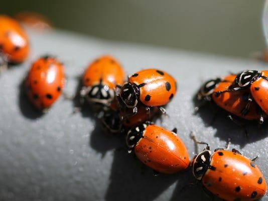 ladybug swarm.jpg