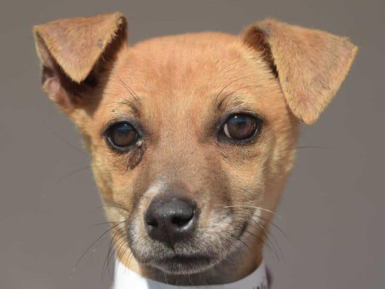 Happy - Female Chihuahua mix, juvenile. Intake date:
