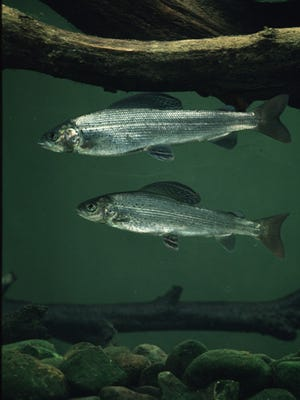 A long-term effort to restore the Arcticgrayling to Michigan is under way.