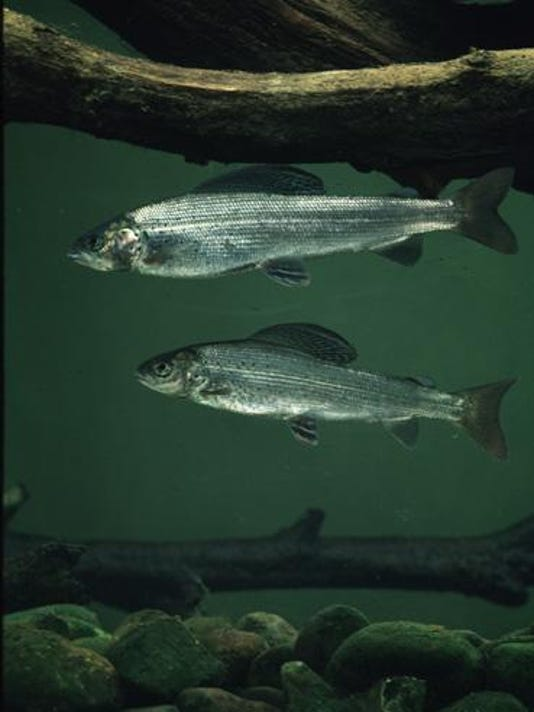 Arctic grayling to reappear in Michigan waterways