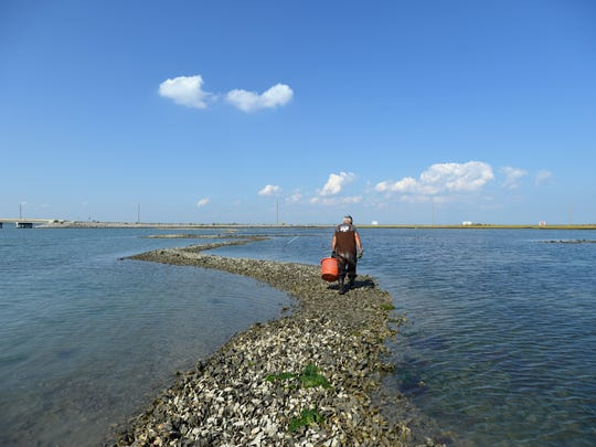 Stanley Jester of Chincoteague walks a winding path of shells in his oyster bed in the shallows of Chincoteague Bay, where he harvests oysters by hand at low tide. The oysters this day were sold to Little Bay Seafood Co. on the island.