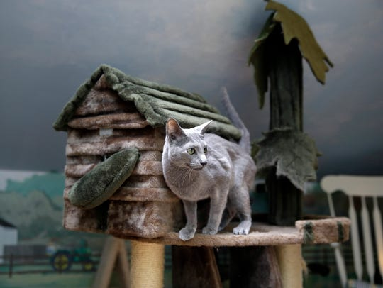 Boris, a Russian blue cat, stands on a playhouse for