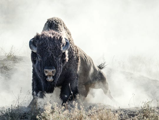 A bull bison rises from a dust bath to let out a bellow that reminded photographer Donald Jones of a lion roar.