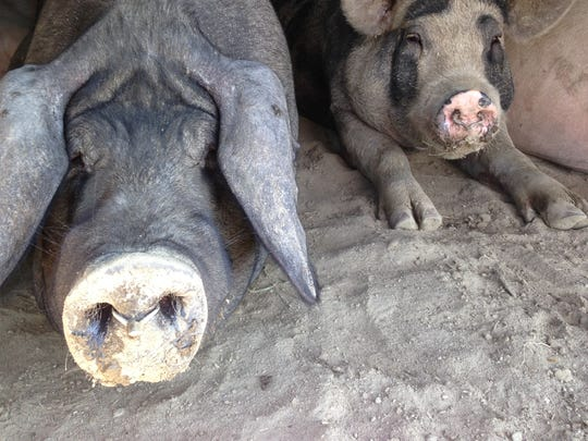 Pigs at Swallow Acres Farms are sent to Sudlersville Meat Locker, where they are made into bacon, loins and scrapple.