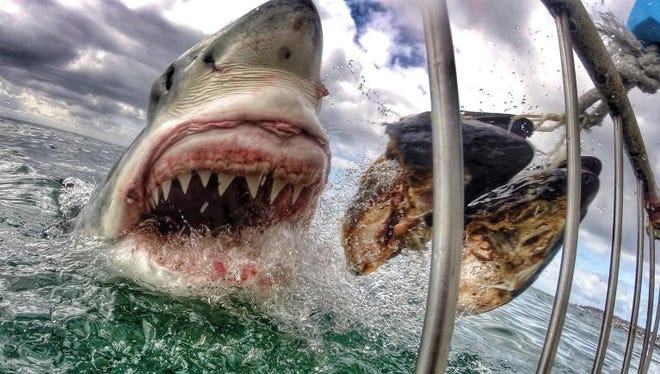 The Great White's are more focused on the bait ball than they are the humans inside the cage.