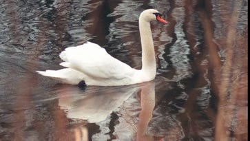Mute swan cruising along in Channel Park on Edgemere Drive in Greece in December 1996.