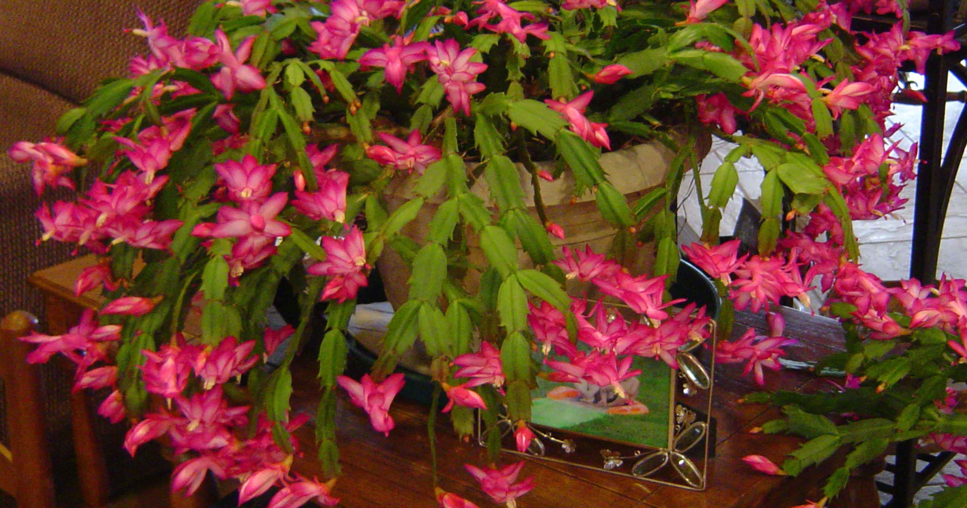 Caring For Christmas Cactus.Caring For A Christmas Cactus