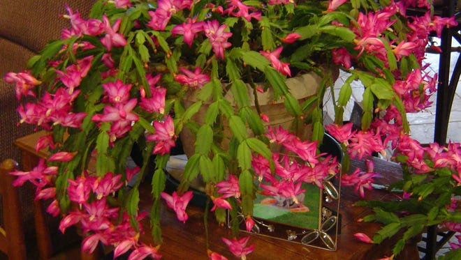 Christmas cactus can provide wonderful color when they bloom.