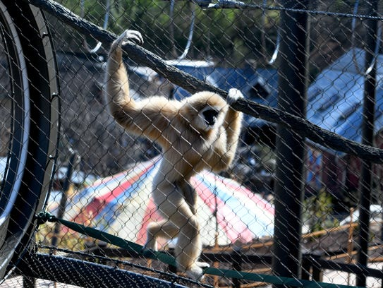 Zoo Knoxville white-handed gibbon Georgie shows off