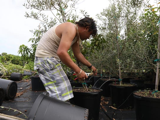 Rusvel Parada works with Fruit Scapes owner Steve Cucura