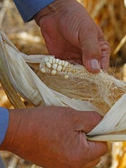 Earl Yazzie inspects his corn on Wednesday in Shiprock.The Yazzie's lost the majority of their crops due to the Gold King Mine spill.