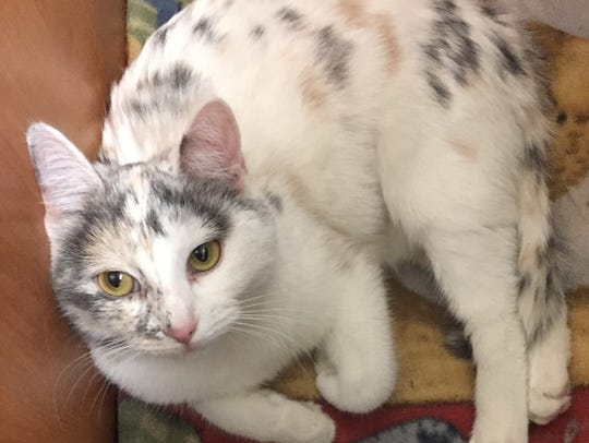 Hedwig is a unique-looking cat, almost a spotted calico.