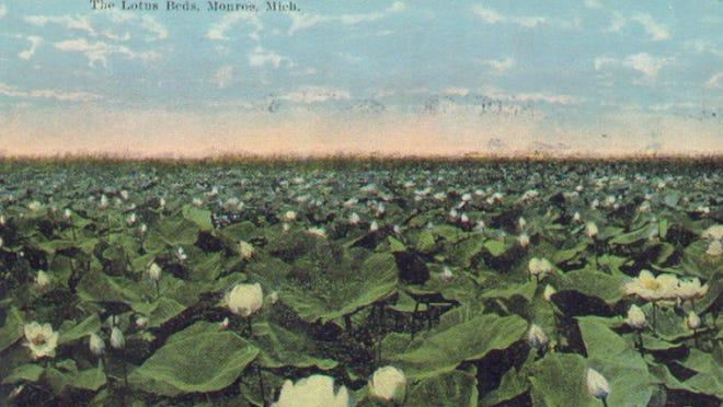 The Monroe Marsh lotus beds.