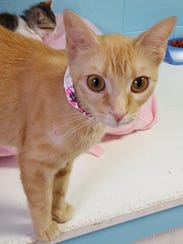 Autumn, an orange tabby, is very loving and affectionate.