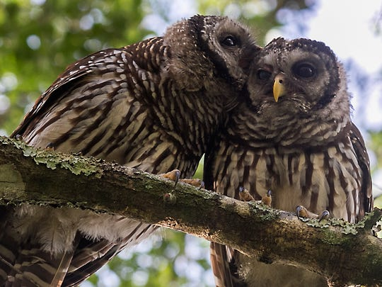 A pair of barred owls groom each other while perched on an old Oak tree branch on the morning of Friday, June 17 at Babcock in Charlotte County.