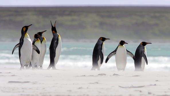 King Penguins in the Falkland Islands.