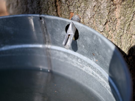 A spile is used to tap a maple tree collecting sap