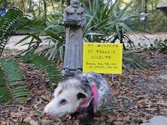 This photo of Pepé Opossum won the Tallahassee Democrat's 2017 UNselfie contest.