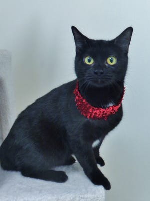 Princess is a very sweet 3-year-old girl who loves to receive attention. She's a real cuddle bug who has a thing for laps. Princess also enjoys climbing cat trees. If you're looking for that special four-legged companion, come meet Princess!