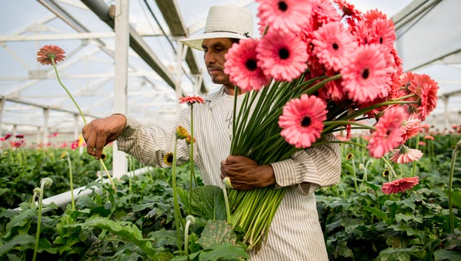 Valentine, an eight-year veteran at California flower grower, gathers a bundle of pink gerberas tthat are soon to make their way to Texas on a Southwest flight.