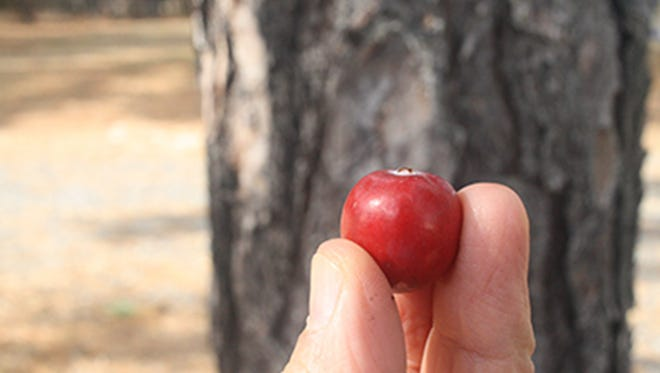 The new Haines variety is expected to do well in the popular sweetened dried category (think Ocean Spray's Craisins).