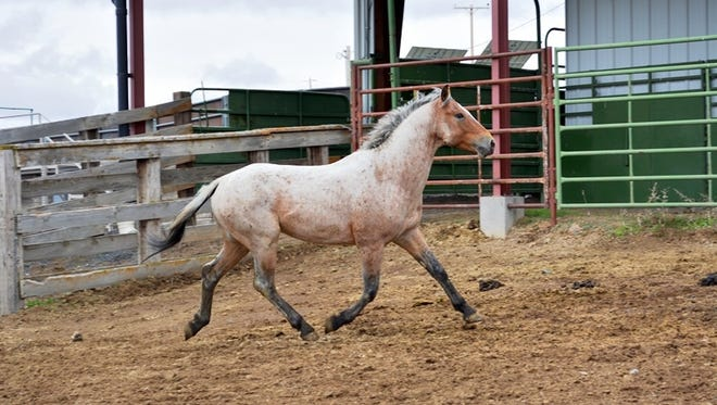 The Bureau of Land Management will host an adoption event for wild horses and burros in Silver City.