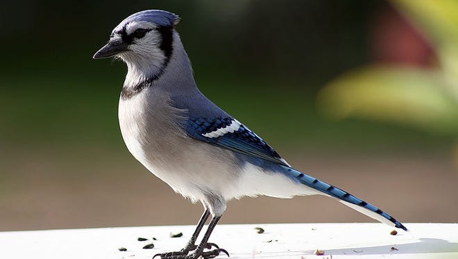 Caption:  Blue jays have reputations for doing both good and evil. Of course, nothing in nature can be so easily labeled. What do you think of this beautiful and intelligent marauder?