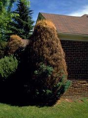 This juniper suffers from winter injury.
