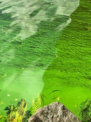 Blue-green algae floats in the Caloosahatchee at the
