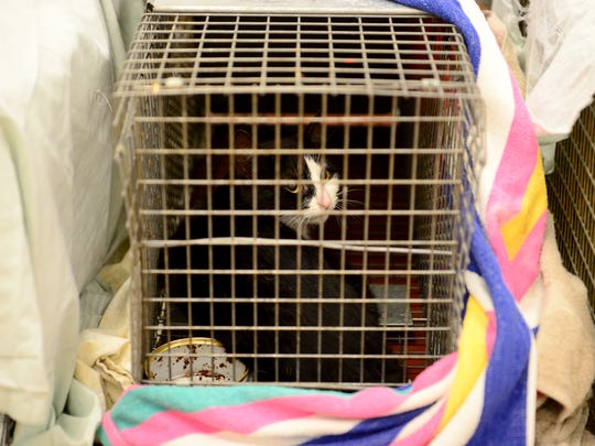 A cat looks out from a trap after being brought in to the Humane Alliance Spay and Neuter Clinic by Nancy Schneiter, of Friends2Ferals, on Wednesday, April 5, 2017. The cat will receive medical attention and probably be released where it was found.