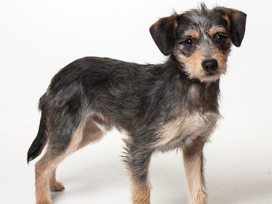 Billy, a 1-year-old male terrier mix dog. No. 95885.