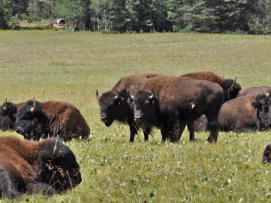 Bison graze on the North Kaibab Ranger District of