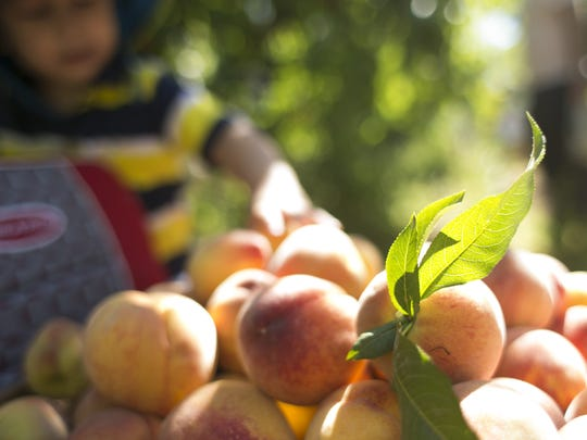 Peaches are collected by the masses during the annual