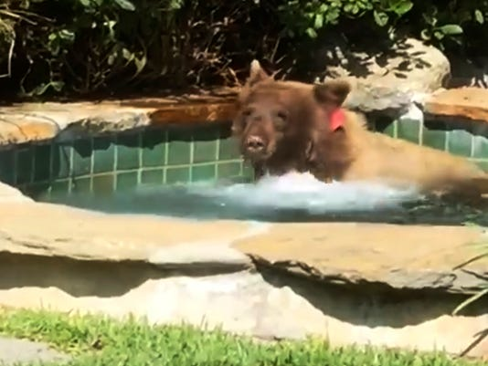 636662271288050957-Bear-In-Hot-Tub-G2DMBGQFU.1.jpg