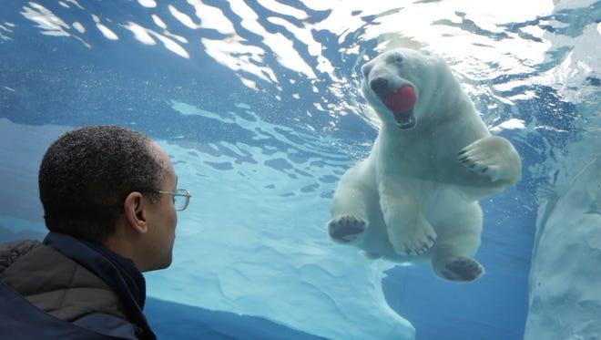 Senior Zookeeper Thomas Brown looks at Nuka, a Polar Bear at the Detroit Zoo in Royal Oak, MI on Thursday, Jan. 15, 2014.