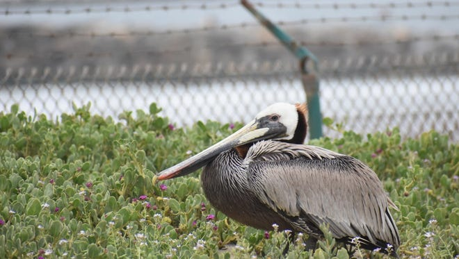 A pelican sits near the settling ponds in Ventura.
