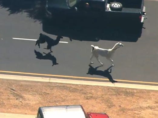 Two llamas running through Sun City drew a crowd of