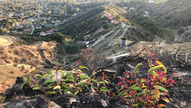 Plants beginning to regrow on Luci's Trail in Ojai.