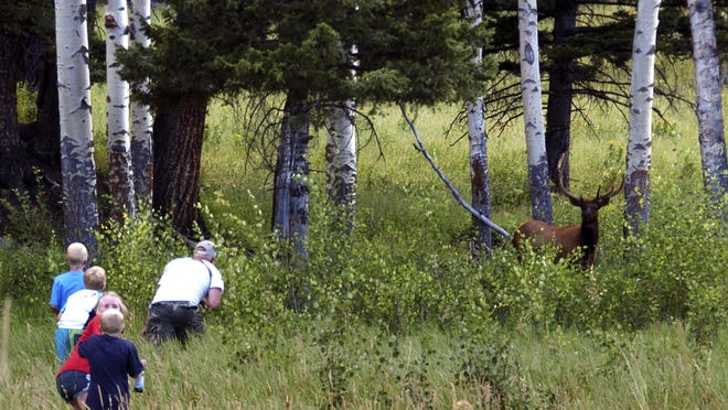Yellowstone National Park tourist John Gleason moves in on a large bull elk as two of his children and two children of friends follow the Walla Walla, Washington man on Aug. 3. The animal ran away as the group got closer.