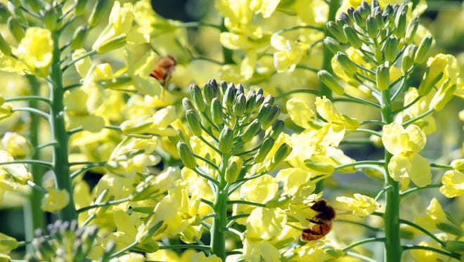 Bees enjoy the broccolini crop now in flower at Higashi Farms in Salinas.