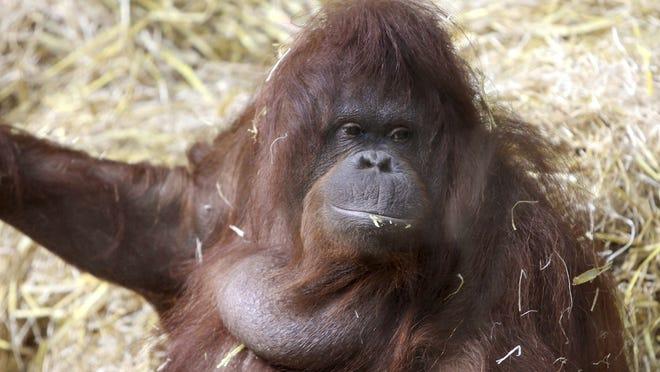 "Tilda, an orangutan in Germany who makes ""faux speech"" sounds."