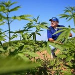 University of Kentucky agronomist Dave Williams looks over the hemp crop at a farm outside Lexington.