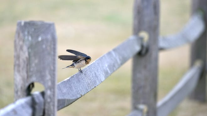 A tree swallow does a pre-flight check before taking off into the wind from its perch in Hyannis.